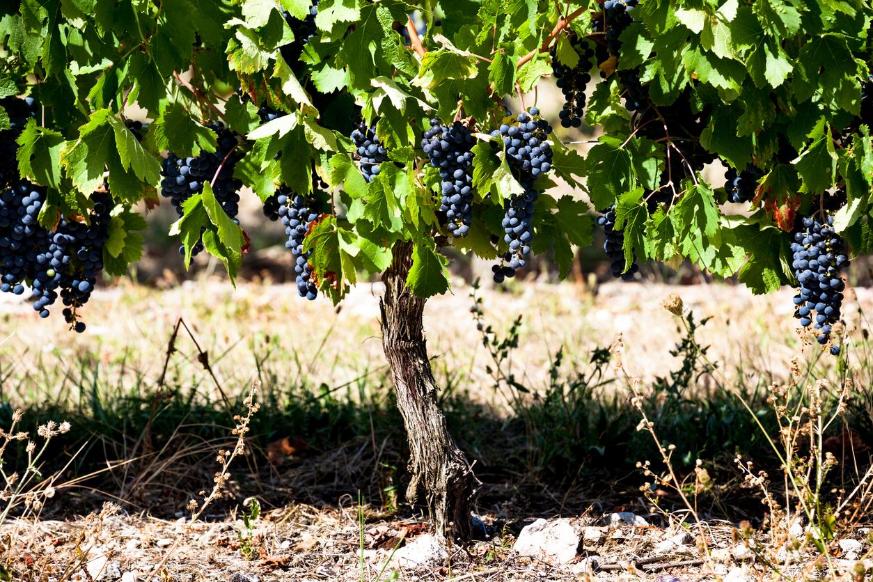 Cabernet Franc - Série de Uvas | Winepedia