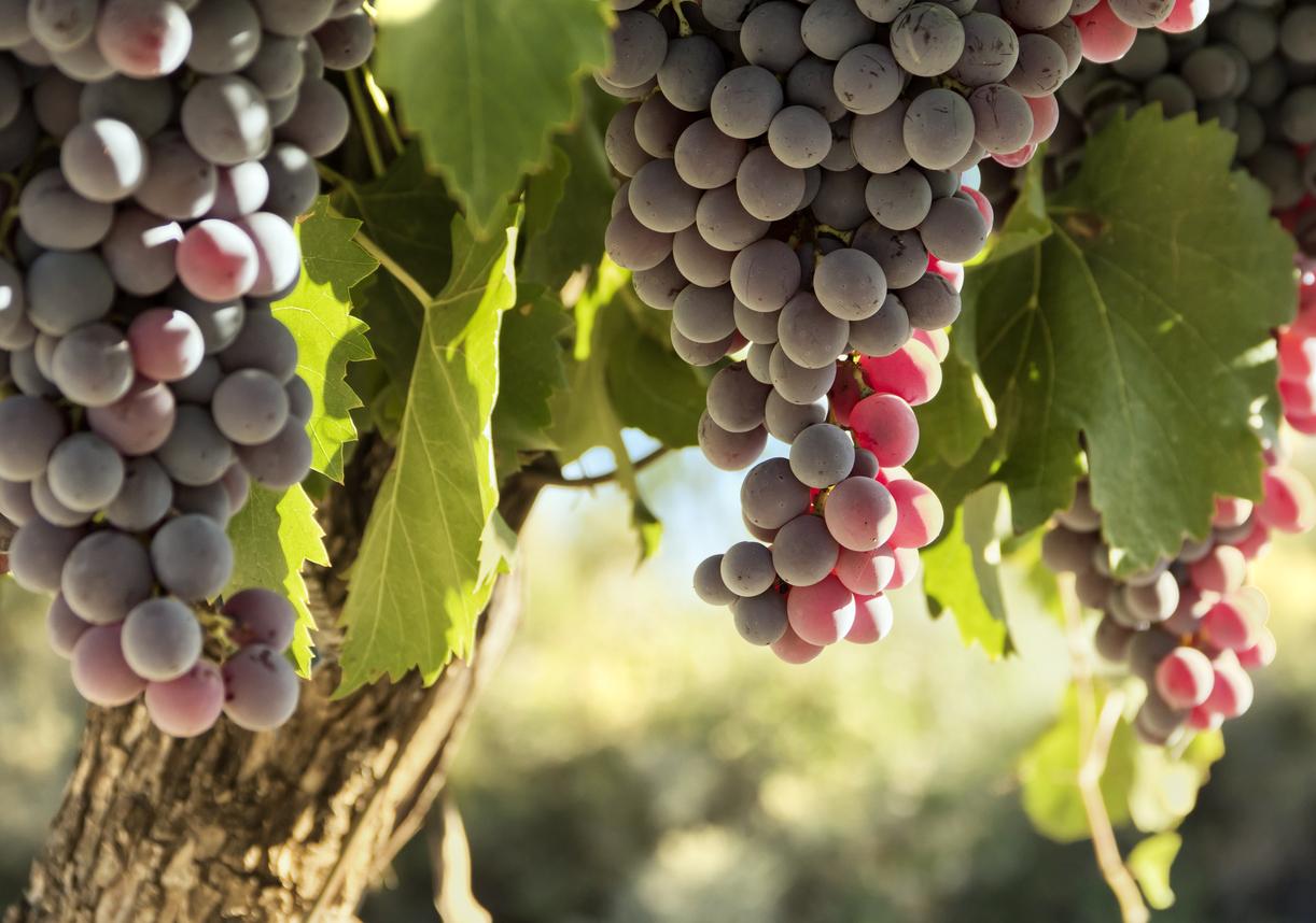 Série uvas - Carménère