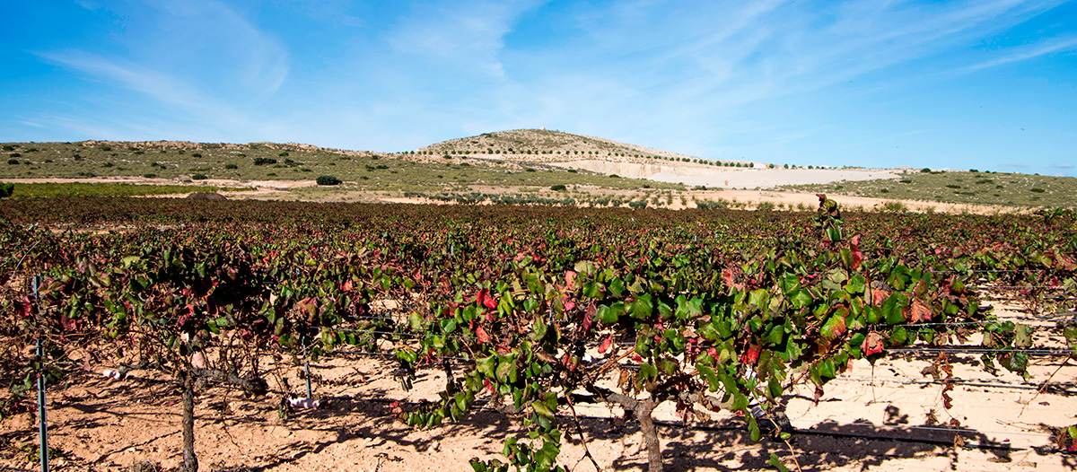 Monastrell - Série de Uvas | Winepedia