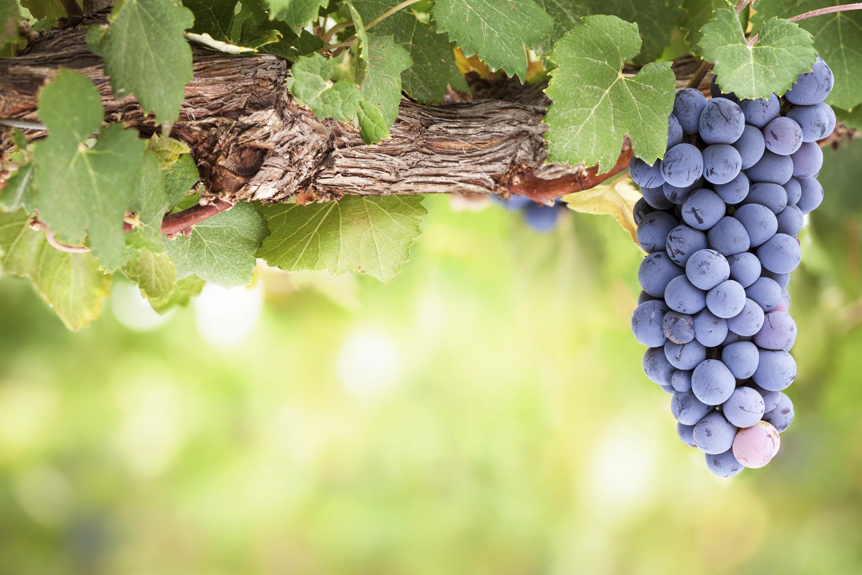 Família Pinot: Série uvas - Winepedia